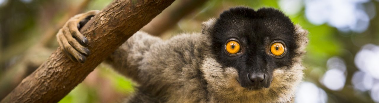 Lémurien eulemur fulvus dans un arbre