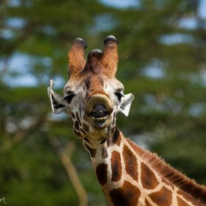 Girafe de Rothschild, Kenya, Afrique