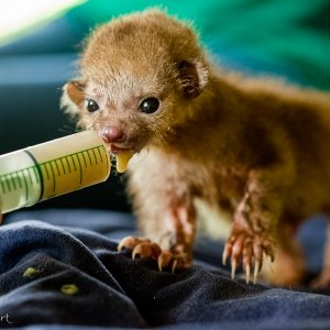 Bébé Kinkajou au Costa Rica. En grandissant il devient super mignon.