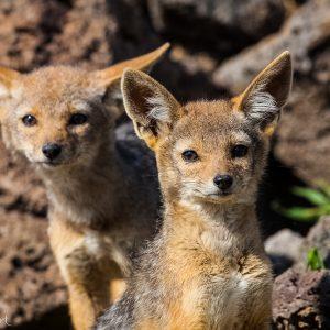 Chacals, Kenya