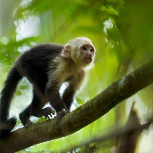 Capucin, Costa Rica