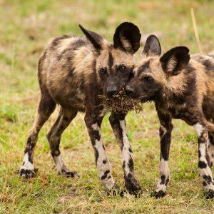 Jeunes Lycaons, Botswana : rares, mal aimés et menacés, mais la plus jolie des vie de famille