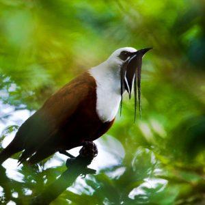 Araponga tricaronculé au Costa Riva : un oiseau bizarre mais intéressant, rare et menacé, on entend son appel des kilomètres à la ronde