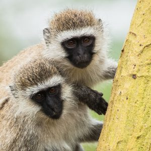 Vervets, Kenya