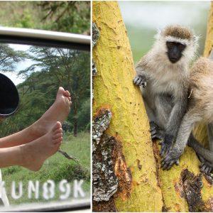 Comment intéresser des singes vervets, au Kenya