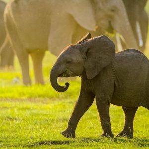 Elephanteau de savane au parc national Amboseli, Kenya