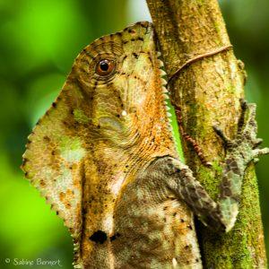 Iguane casqué au Costa Rica, incroyablement mimétique