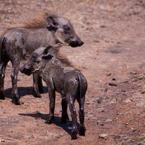 Des bébés phacochères, Kenya