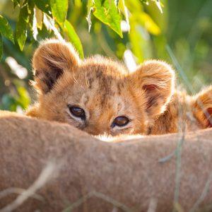 Lionceaux, Kenya
