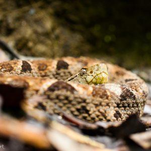 Fer de lance au Costa Rica. Très beau serpent... mais ne pas s'approcher !