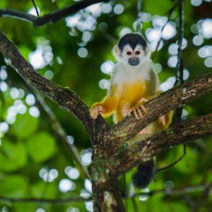 Saïmiri d'Amérique centrale à couronne noire, Costa Rica