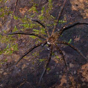 Araignée Dolomedes au Costa Rica, elle se promène sur l'eau et sous l'eau !