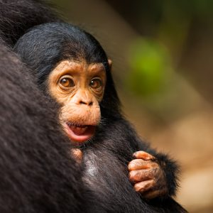 Chimpanze sauvage dans la foret de Mahale, Tanzanie