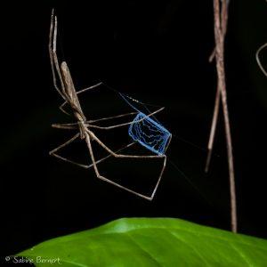 Araignée Deinopis longipes au Costa Rica : elle pêche au filet !