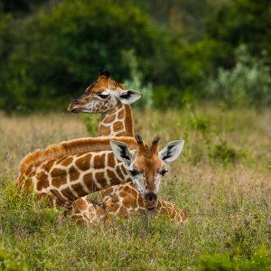 Girafons de Rotschild, Kenya