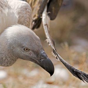 Nelson vautour fauve REST Namibie