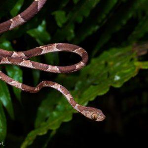 Serpent des arbres à tête tronquée au Costa Rica : rigolo non ?