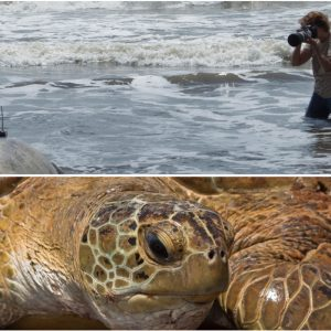 Départ d'une tortue verte dotée d'un radio-émetteur, avec Sea