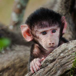 Bébé babouin en Tanzanie : il deviendra un peu plus mignon très vite !