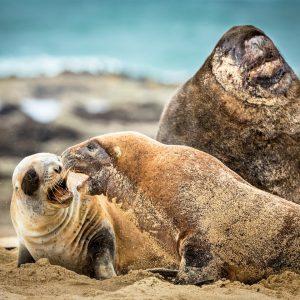 Lions de mer, Nouvelle-Zélande