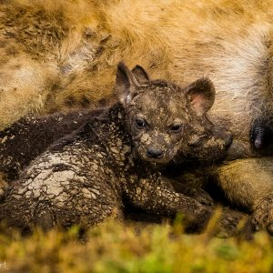 Bébé hyène au Kenya : mignon quand c'est petit non ?
