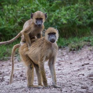 Babouins jaunes, Tanzanie