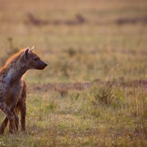 Hyène un peu plus âgée au Kenya : indispensable pour l'équilibre de la savane