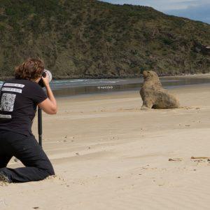Lion de mer attentif, Nouvelle-Zélande