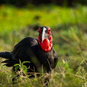 Calao terrestre, Kenya : drôle de tête non ?