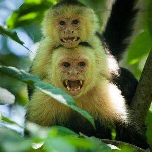Capucins moines, Costa Rica