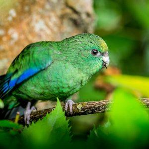 Kakariki, Nouvelle-Zélande