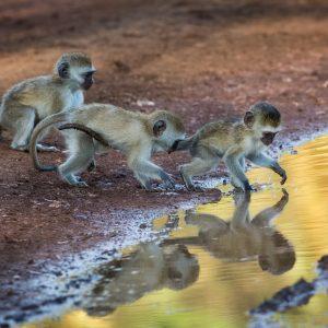 Vervets, Tanzanie
