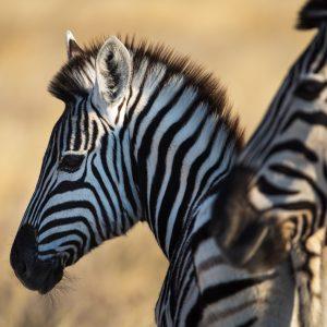 Zebre de Burchell, Namibie