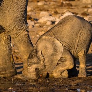 Elephanteau de savane Afrique Namibie