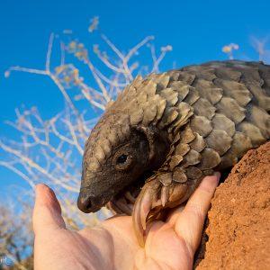 Bébé pangolin en Namibie : son espèce est malheureusement l'une des plus braconnées au monde