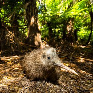 Kiwi Rowi, Nouvelle-Zélande