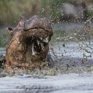 Hippopotame pas ravi, Kenya