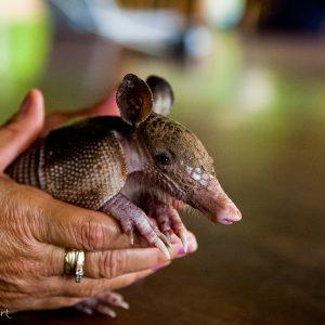 Bébé tatou au Costa Rica