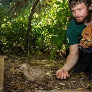 Iain Graham et le chien ranger Rein relachant un Kiwi rowi juven