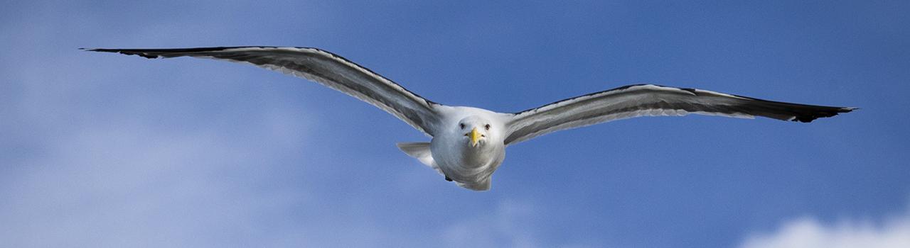 Albatros en vol, Nouvelle-Zélande - BERNERT