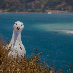Albatros royal du Nord sur la colonie de Taiara Head, Nouvelle-Zélande