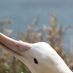 Couple d'Albatros royaux du Nord