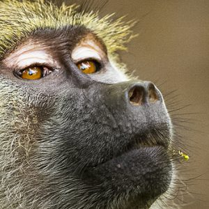 Babouin jaune, Tanzanie, Afrique