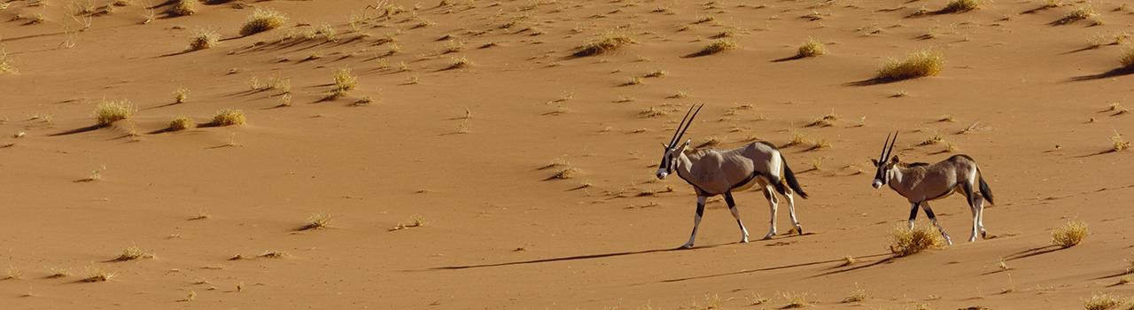 Deux oryx marchant dans le désert de Namibie