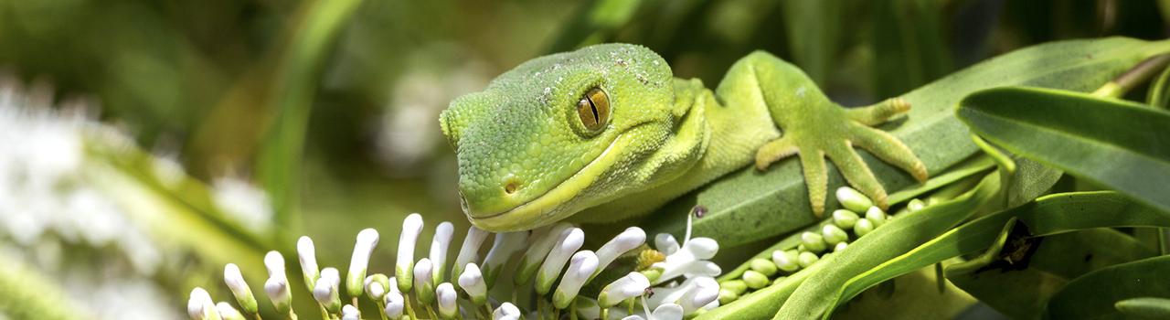 Gecko Naultinus manukanus, Marlborough green gecko sur une branche Nouvelle-Zélande