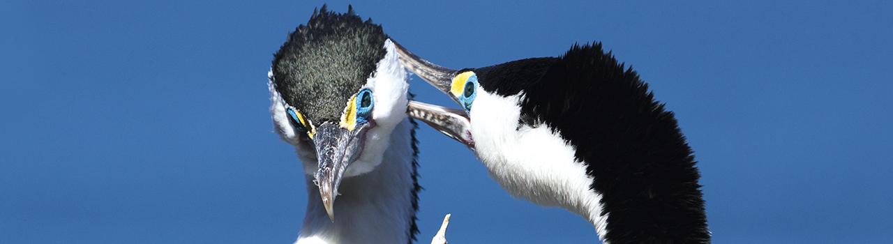 couple de cormoran varié, Nouvelle-Zélande