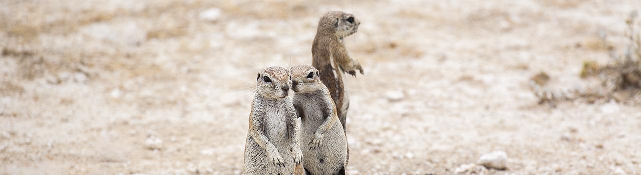 Ecureuils de terre en Namibie