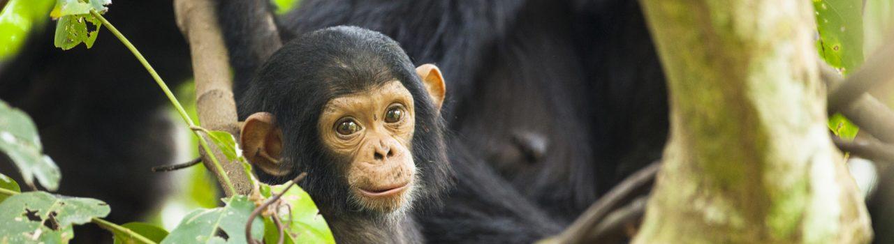 Jeune chimpanze commun sauvage en Tanzanie