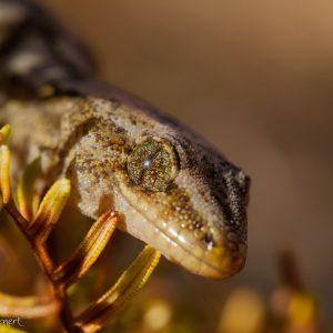 Gecko commun, Nouvelle-Zélande