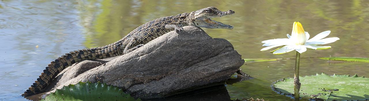 Bébé crocodile sur un rocher